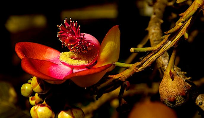 Hoa Sala Tích Lan - Hoa Đầu Lân